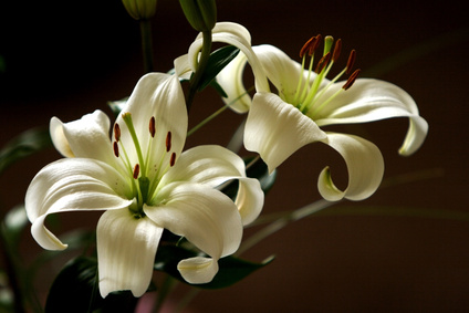 Vlies Fotobehang Witte Lelies aanbieding