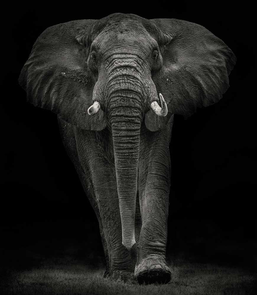 Vlies fotobehang Olifant zwart wit