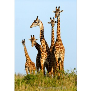 Vlies fotobehang Giraffenfamilie