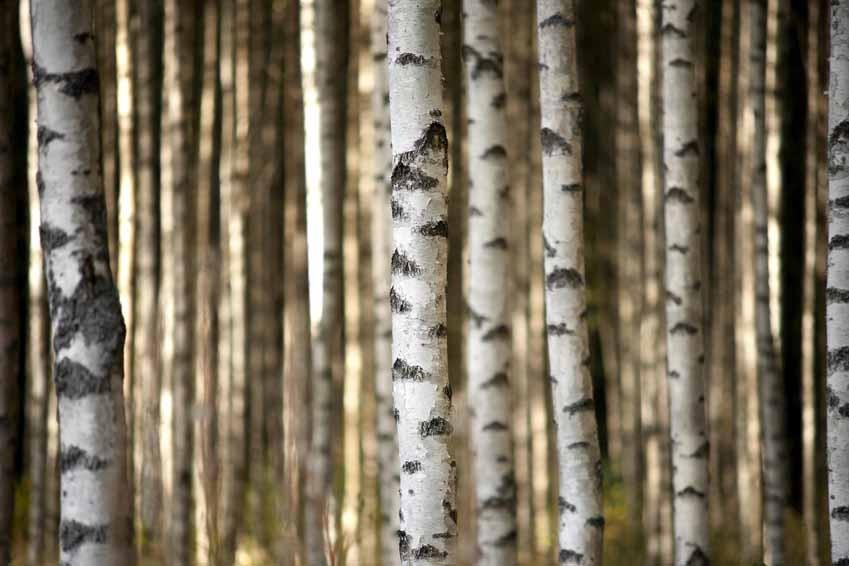 Vlies fotobehang Berkenbomen