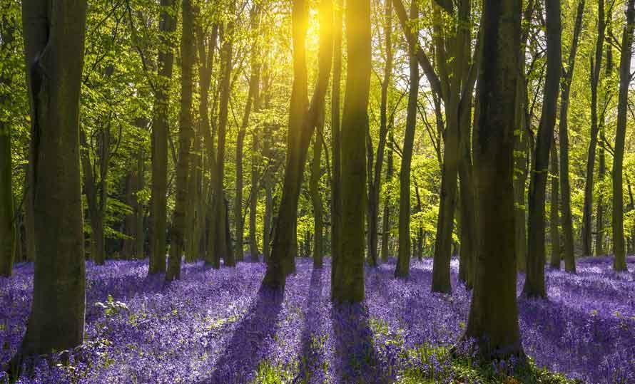 Vlies fotobehang Wilde hyacinten in het bos  Muurmode.nl